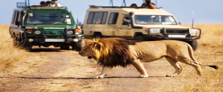 lion walking in front of two cars on safari tour