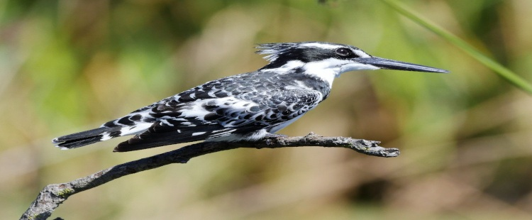 black and white pied kingfisher sitting on a small branch
